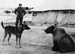 A military dog meeting Wojtek the bear, Middle East, 1942