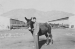 James W. Gustin, Jr. with mule Meatball, Camp Carson, Colorado, United States, 1943