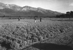 Guayle fields at the Manzanar Relocation Center for deported Japanese-Americans, 1943. Guayle was hoped to be an alternative source of latex for making rubber, a project being researched at Manzanar.