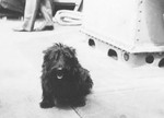 President Franklin Roosevelt's dog Fala on the deck of the destroyer USS Cummings as the ship transported the President through Alaska's Inside Passage, Aug 1944.