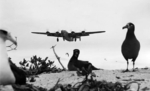 US B-24D bomber approaching Eastern Island, Midway Atoll for landing, 18 Mar 1943; note albatrosses in foreground