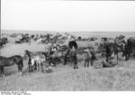 German horse-drawn supply convoy taking a break in a field, southern Russia, Aug-Sep 1942