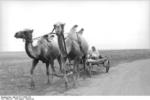 Civilian in a camel-drawn cart in southern Russia, Aug-Sep 1942