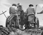Japanese-American farmers operating a rotary potato planter, Tule Lake Relocation Center, Newell, California, United States, 1 Jul 1945, photo 1 of 2