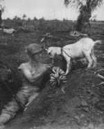 US Marine First Sergeant Neil Shober feeding bananas to a native goat, Saipan, Mariana Islands, Jun 1944