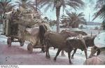Sicilian refugees on an ox cart, Palermo, Sicily, Italy, circa Jul 1943