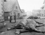 Dead horses in a German town, 15 Dec 1944; 6 German soldiers (5 of whom were killed) were hitching them to an artillery piece on the previous day when a US shell exploded near them