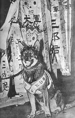 Saburo, a Japanese Army war dog, 1937