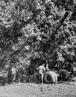 155mm Gun M1 being hidden beneath a large tree during exercise in Tennessee, United States, circa 1942